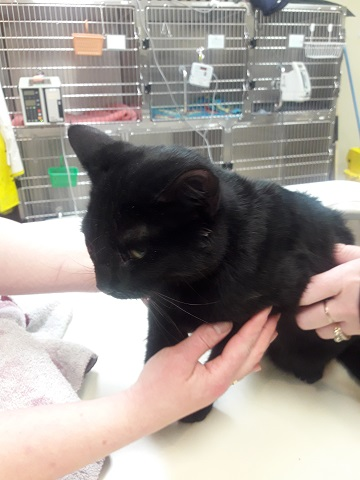 Black unaltered male domestic medium hair cat found January 15th Old Sackville Road Reference#322984