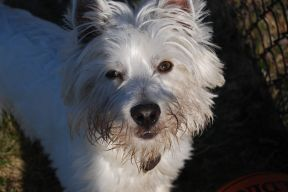A Westie Terrier looks into the camera