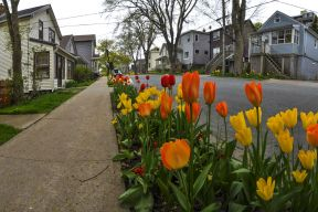 Red and yellow tulips line Tulip Street in Dartmouth